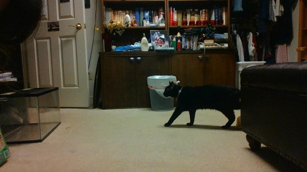 cat makes her way